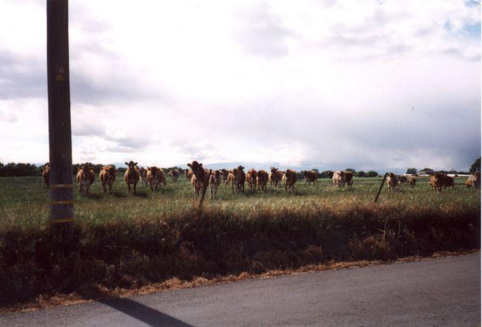 cows01.jpg