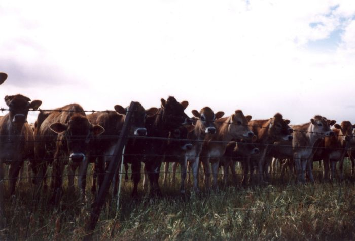 cows02.jpg