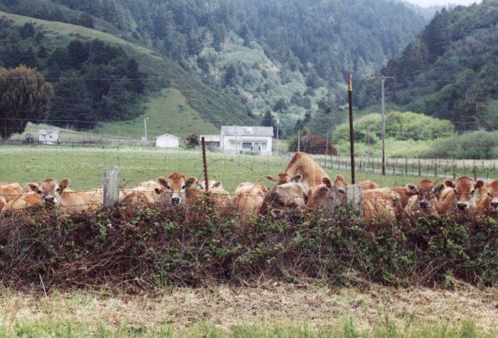 more_cows.jpg